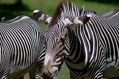 Zebras @ Bronx Zoo