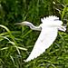 Snowy Egret in Flight(비행중인 쇠백로)