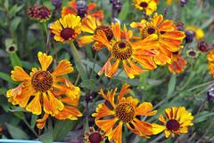 Blütenpracht im Schrebergarten