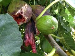 flower(0.0), plant(0.0), produce(0.0), food(0.0), vegetable(1.0), leaf(1.0), tree(1.0), common fig(1.0), flora(1.0), fruit(1.0), gourd(1.0),