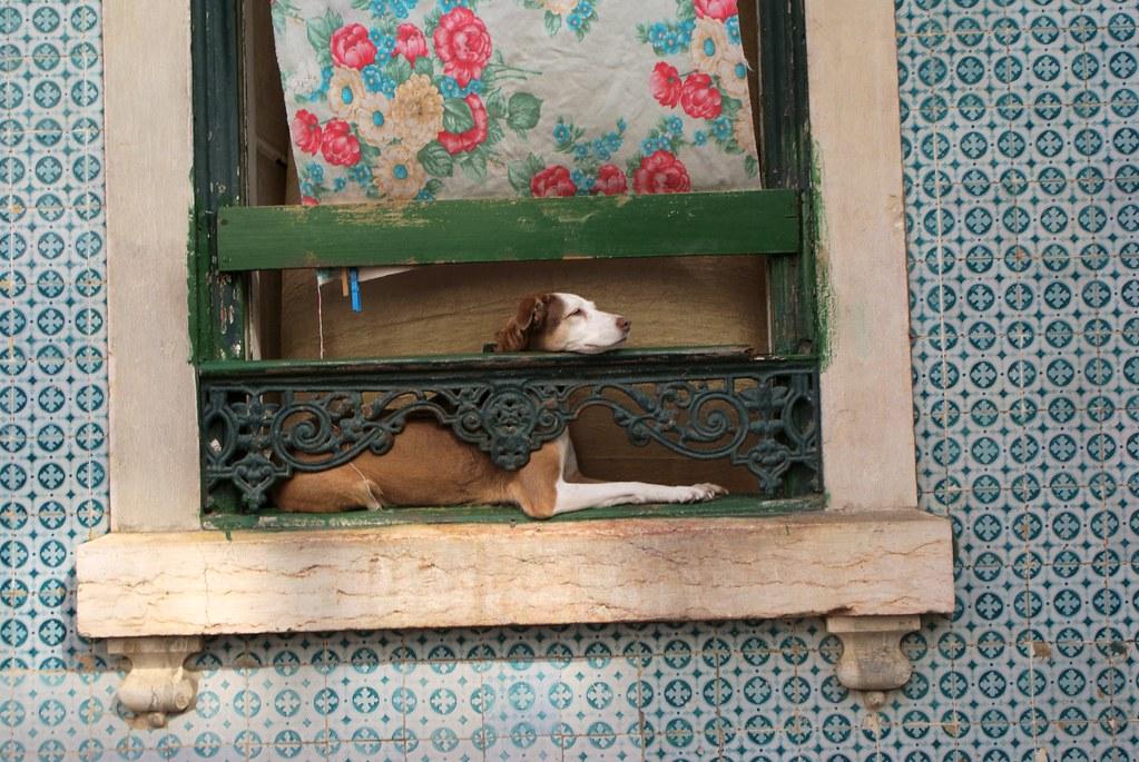 Fenêtre + azulejos + chien à Lisbonne.