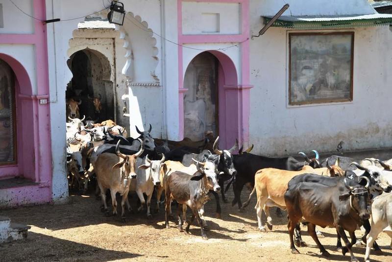 176 casa de vacas en Natwara (9)