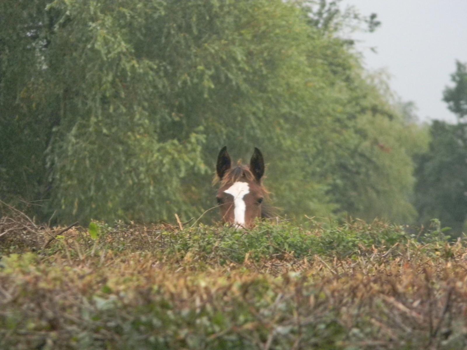 Horse Pie Horse spy. Ockley to Warnham