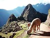 Haven't ever see a llama ? Go to Machu Picchu , and enjoy it and more . Www.inkaltitude.com