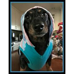 Miss Weenie dressed & ready to roll to Petsmart 🐶🐱 #petsmart #dachshundsofinstagram #dachshund #doxie #weinerdog 🐱🐶🐫