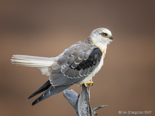 White-tailed Kite, Canon EOS 5DS, Canon EF 500mm f/4L IS II USM + 1.4x