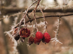 Dog-rose in the winter