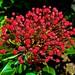 Small photo of Red kalmia