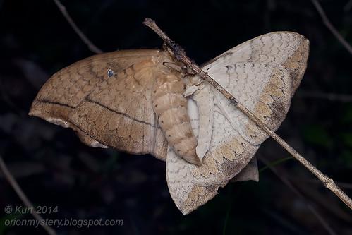 Mating moths IMG_9288 copy
