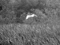 Great Egret Over White Lake