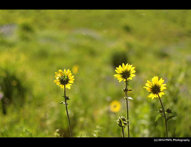 Aspen Sunflower (Helianthella quinquenervis)