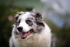 scotch collie(0.0), miniature australian shepherd(0.0), australian shepherd(0.0), border collie(1.0), dog breed(1.0), animal(1.0), dog(1.0), close-up(1.0), carnivoran(1.0),