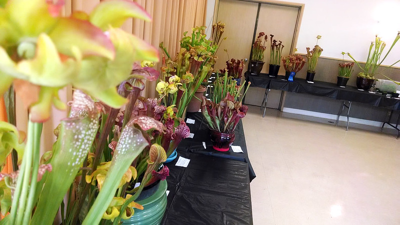 Sarracenia at the 2014 BACPS Show and Sale.