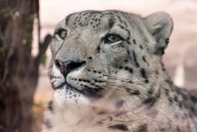 Roscoe the Snow Leopard
