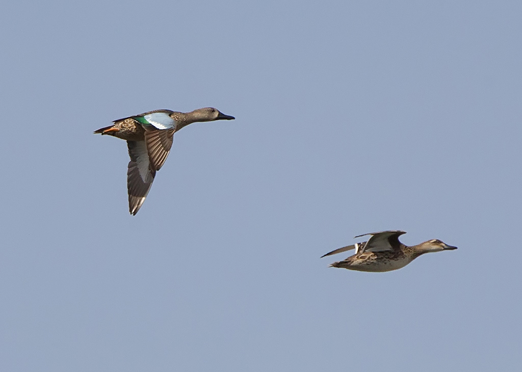 Blue Winged Teal 2014-01-15