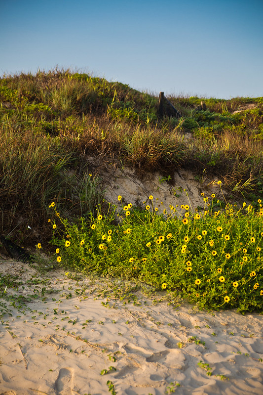 Sand Dune with Sunflowers on Padre Island National Seashore