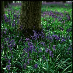 Bluebells in there prime