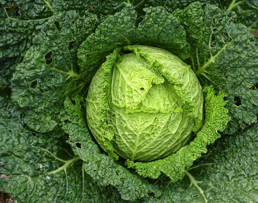 savoy cabbage raw