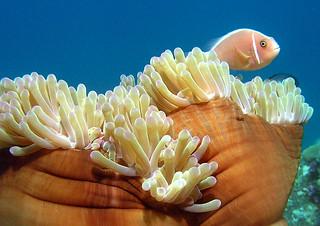 "<img src=""padi-diving-sepoi-tioman-island-malaysia.jpg"" alt=""PADI diving, Sepoi, Tioman Island, Malaysia."" />"