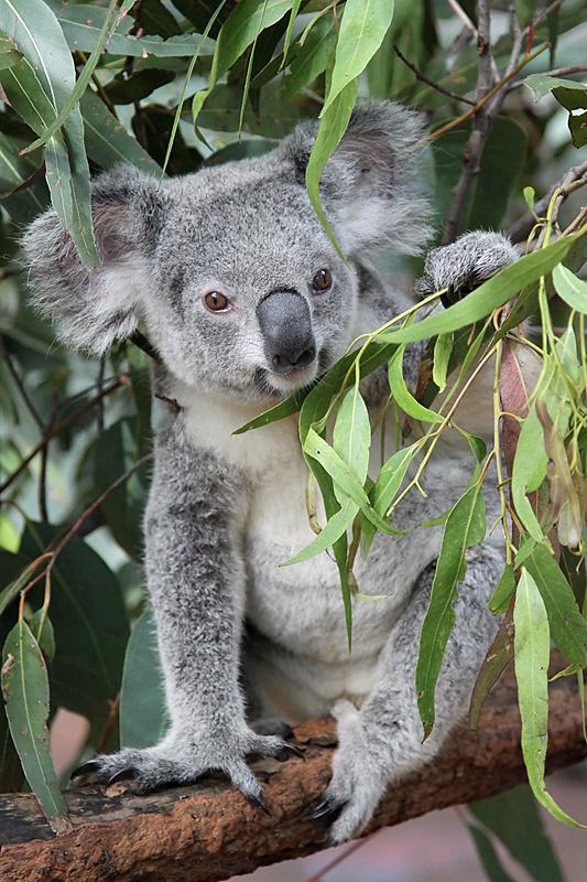 KoalaSanctuary1