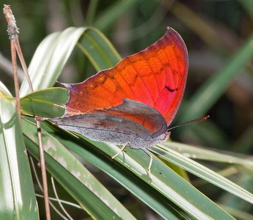 Florida Leafwing