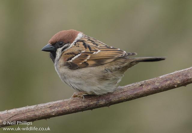 tree sparrow-18