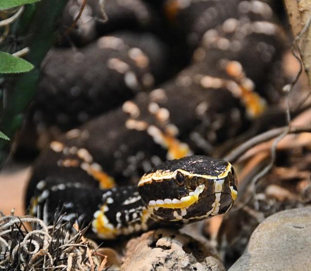 Taylor's Cantril, a venomous pitviper subspecies