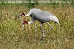 Sarus crane Grus antigone