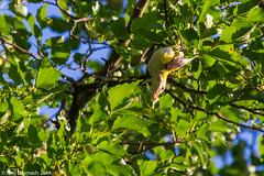Juvenile Eurasian golden oriole