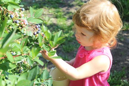 blueberry picking   coppertopkitchen.blogspot.com