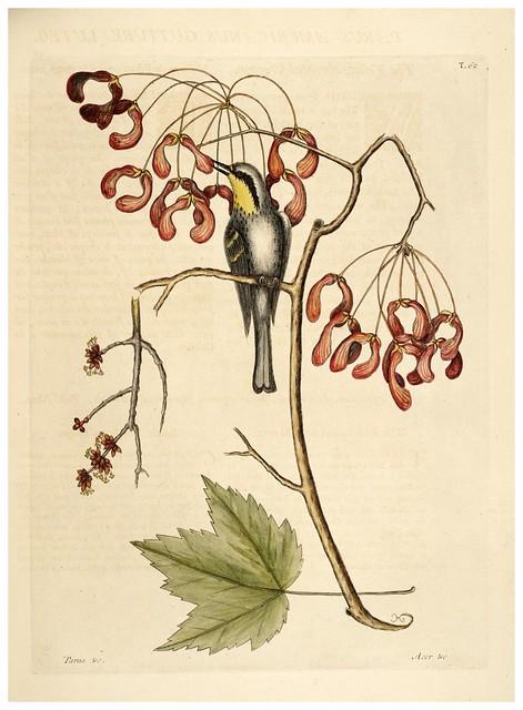 008-Mesange americano de garganta amarilla-Natural History of Carolina, Florida and the Bahama Islands-Vol1-1754