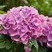 Pink Hortensia (Hydrangea)