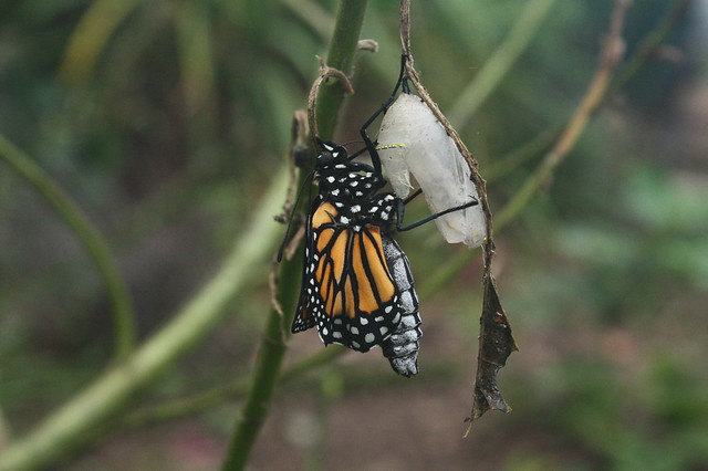 The Monarch Emerges!