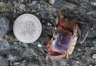 陸蟹體型偏小,以奧氏後相手蟹為例,約只有5元銅板大小;攝影:陳文姿。