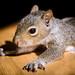 Rescued baby male squirrel - 5 weeks old by Shibuya Sakura