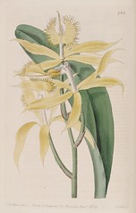 Eyelash orchid. Epidendrum ciliare. Botanical Register, vol. 10 (1824) [M. Hart]
