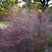 Pink Muhly Grass by Eddie C3