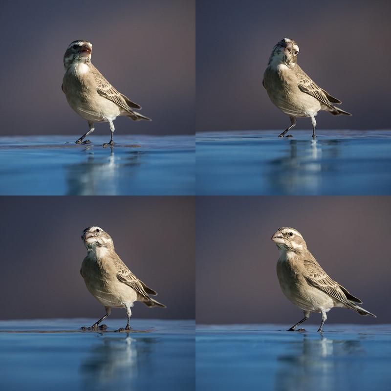 White-throated canary (female)