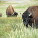 Bison by jamey15