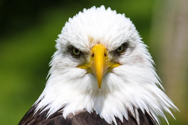 сердитый орел