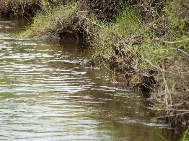 spot the beaver