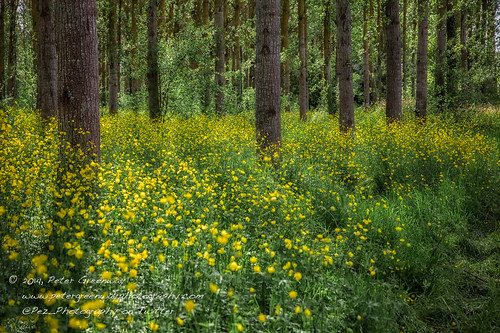 French Woodland Buttercups