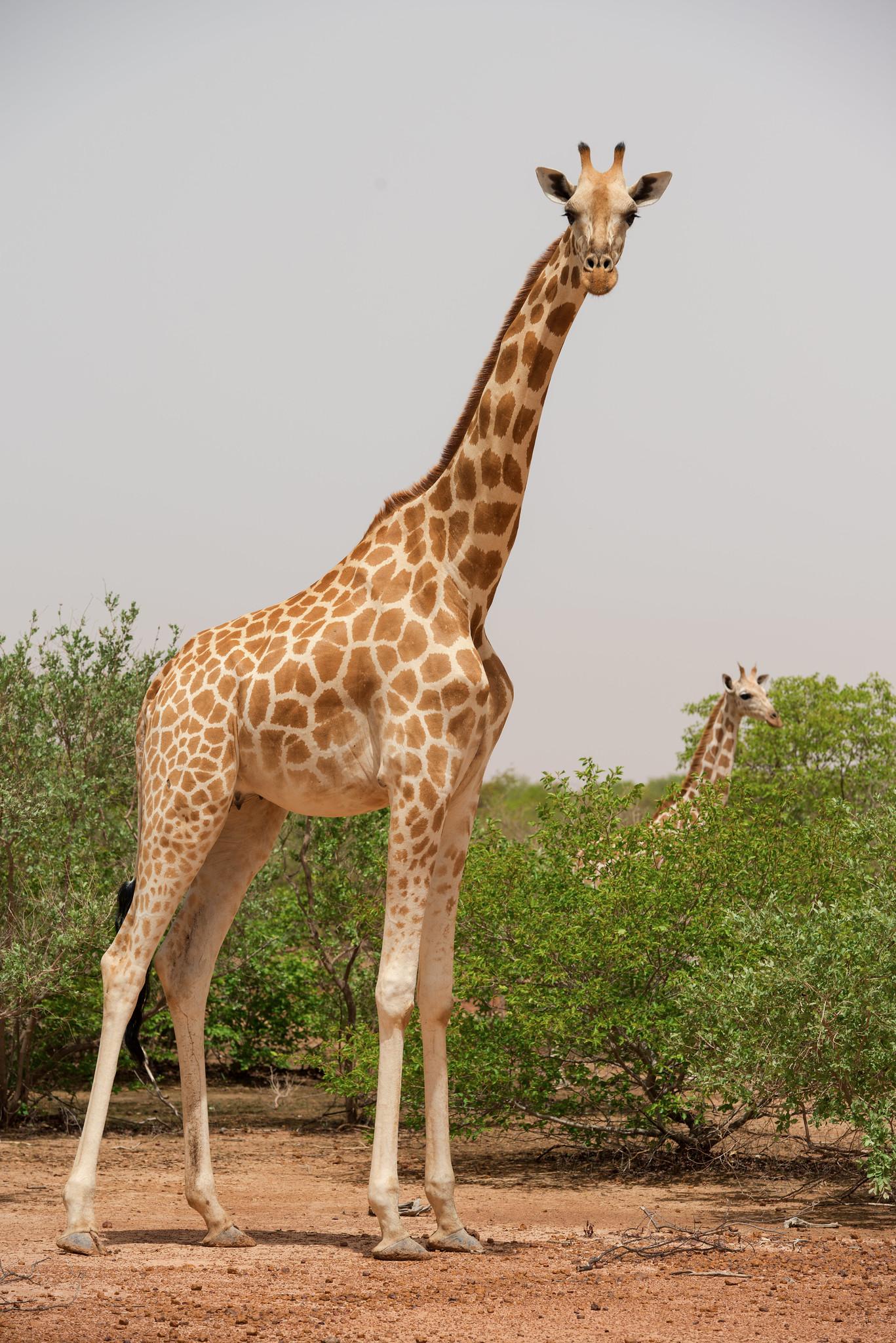 West African Giraffes in Kouré
