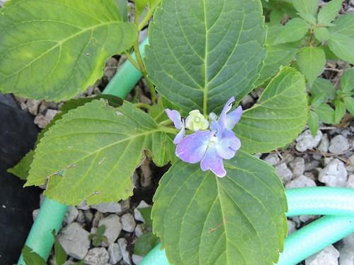 Florists hydrangea (?) year 1