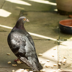 The London Pigeon