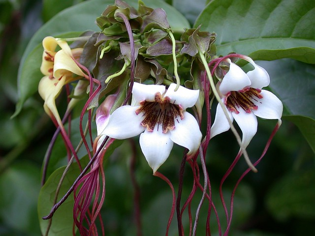 Strophanthus preussii (Apocynaceae)