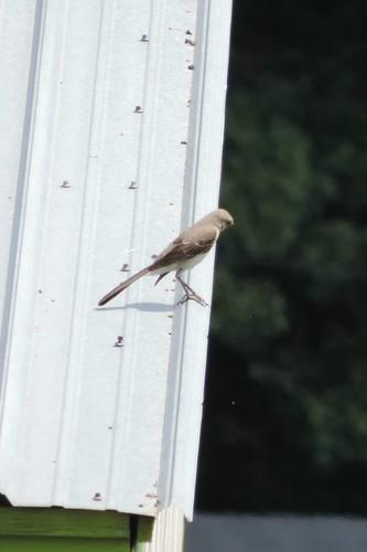 #77 Northern Mockingbird (Mimus polyglottos)