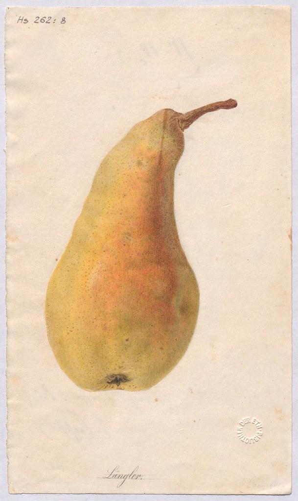 Birnensorte Längler (Poire d'Etranguillon)