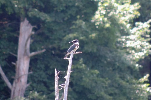 #78 Belted Kingfisher (Megaceryle alcyon)
