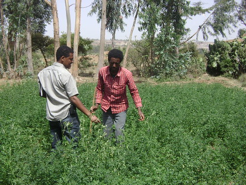 A smallholder farmer in Tigray in his irrigated alfalfa farm (Photo:ILRI\ Yayneshet Tesfay)